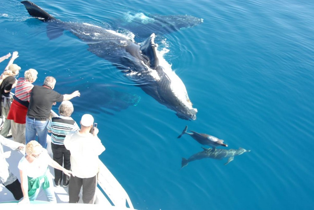 Whale Watching - Hervey Bay