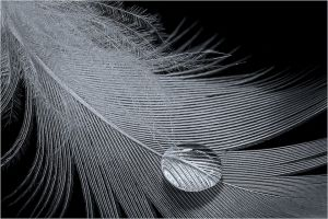 Water Drop on Feather by Diane Murphy