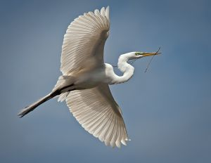 Egret with Delicate Branch by Viki Gaul