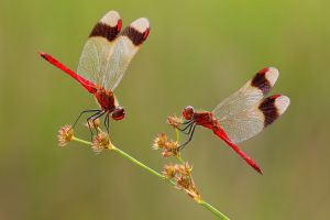 Two Resting Dragonflies by Dre Van Mensel EFIAP/p MFIAP GMPSA