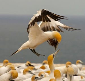 Gannet with Seaweed Nesting by Pamela Lane ARPS DPAGB AFIAP