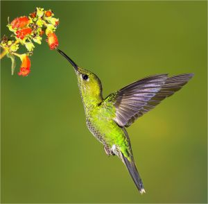 Green Crowned Brilliant Hummingbird 2 by Cheryl Mares