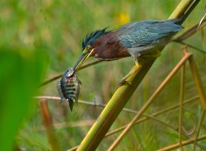 Green Heron by Shu Cheuk