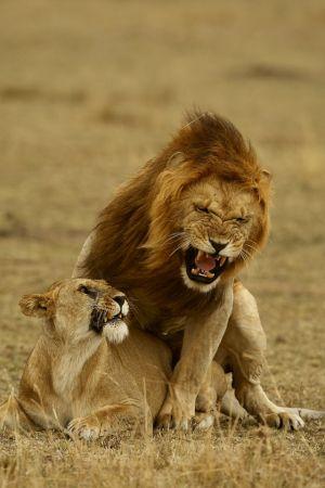 Mating Lions 13 by Bob Devine ARPS EFIAP PPSA BPE5*