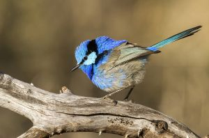 Splendid Fairy-Wren by Erica Siegel AFIAP AAPS
