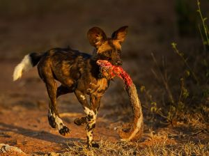 Wild Dog Puppy Kill 1 by Willem Kruger ARPS AFIAP APPSA