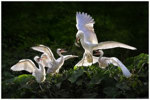 Egret Feeding by Chi Hung Cheung