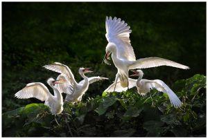 Egret Feeding by Chi Hung Cheung
