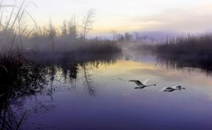 Morning Mist with White Swan by Tin Sang Chan