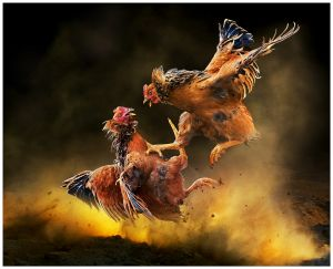 Chicken Fight by Chi Hung Cheung