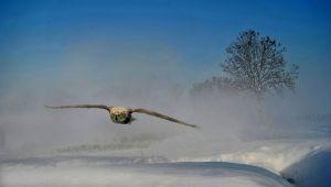 Aanvliegende Uil by Daniel Lybaert EFIAP/p