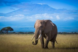 Elephant in the Shadow of MT Kilimanjaro by Ralph Brown AFIAP