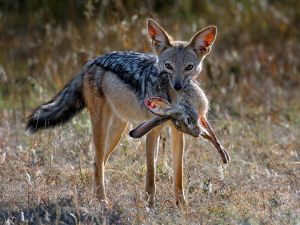 Jackal with Hare by Roger Jourdain