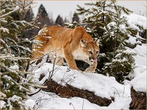 Mountain Lion Stalking by Kerry Boytell EFIAP