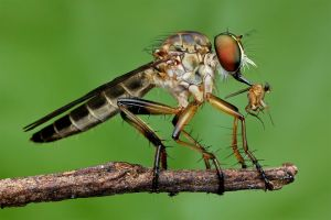 Robber Fly 21 by Andy Lim Sin Kun