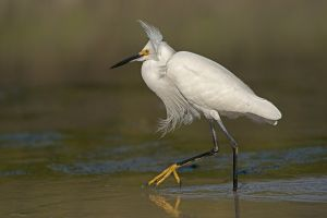 Snowy Egret Strutting by Ralph Snook ARPS EFIAP DPAGB