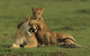Lioness with Cub 1 by Bob Devine ARPS EFIAP PPSA