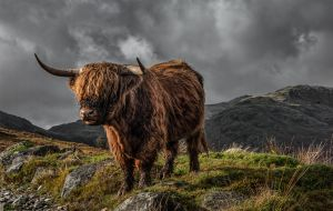 Highland Cattle by Tom Richardson ARPS EFIAP DPAGB BPE4*