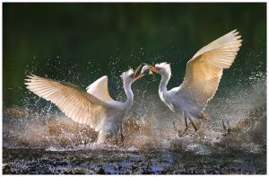Egret Fight by Chi Hung Cheung