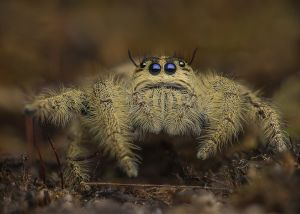 Diard`s Jumping Spider by Alfred Preuss EFIAP