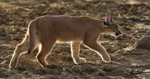 Caracal Backlit by David Cantrille MFIAP FRPS EPSA