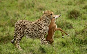 Cheetah with Kill in Masai by Bob Devine ARPS EFIAP PPSA BPE5*