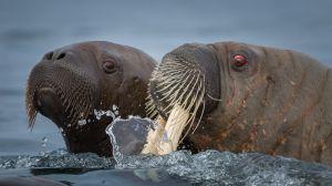 Walrus No1 by Craig Parker AFIAP AAPS