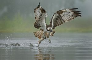Osprey Fishing in the Mist by Jo McIntyre DPAGB