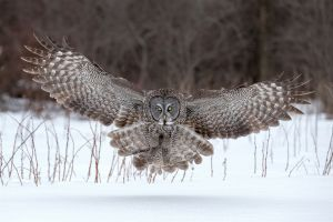 Great Gray Owl Landing by Tin Sang Chan
