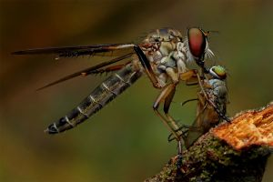 Robber Fly 28 by Andy Lim Sin Kun