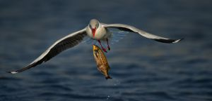 Gull Dropping Fish by Willem Kruger ARPS AFIAP APPSA