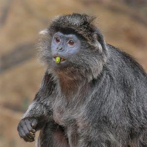 Surprised Leave-Monkey by Klaus-Dieter Schleim MPSA