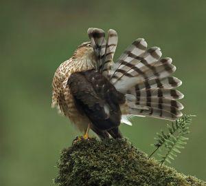 Female Sparrowhawk Preening by Jo McIntyre DPAGB