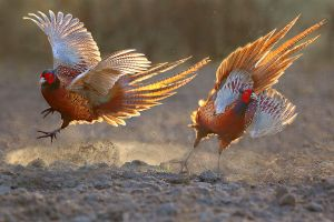 Fighting Pheasants by Dre Van Mensel EFIAP/p MFIAP GMPSA