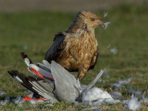 Kite Plucking Prey 2 by Jenni Horsnell EFIAP MPSA