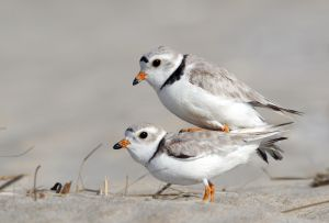QIDC HM - Plovers About to Mate by Sandy McMillan