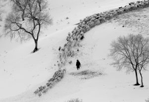 QIDC Bronze (Judges Choice) - Herding Sheep-Bw by Li Wang PPSA