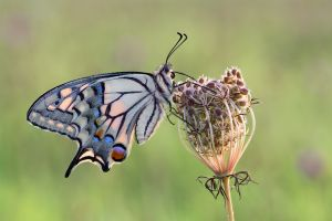 PSA Nature Wildlife Medal for Best Wildlife (W) - Swallowtail on Wild Carrot by Birgit Pustelnik AFIAP PPSA