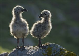 UPI Bronze - Great Black-Backed Gull Chicks by Karin Wilson