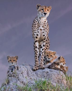 UPI HM - Cheetah with Cubs at Dawn by Arun Mohanraj