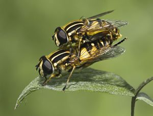 UPI HM - Hoverflies Mating by Charles Akerstrom LRPS BPE2