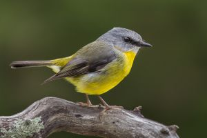 APS Merit - Yellow Robin by Kim Wormald