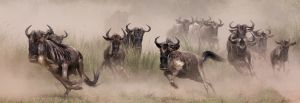 PSQ HM - Wildebeests Migration Masai Mara by Arun Mohanraj