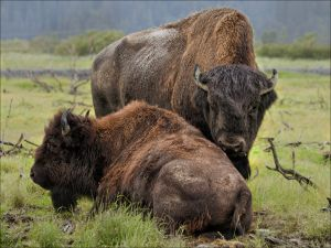 QIDC HM - Alaskan Bison by Astrid Claase