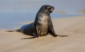 QIDC HM - New Zealand Sea Lion No2 - Phocarctos Hookeri by Doug Moulin APSNZ EFIAP