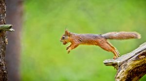 QIDC HM - Squirrel in a Jump by Henrik R. Kristensen AFIAP