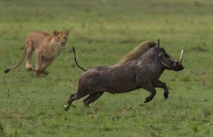QIDC HM - Warthog Escaping by Ian Whiston DPAGB AFIAP BPE4