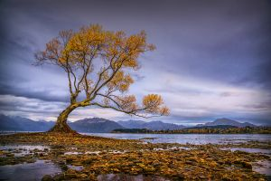 APS Merit -  Wanaka Tree by Bernd Stoffl EFIAP