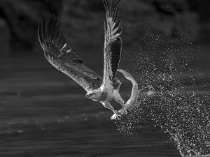 QIDC HM - Eagle Caught a Fish 2 BW by Koon Nam Cheung PPSA EFIAP ARPS