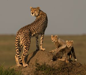 PSA Nature Wildlife Medal for Best Wildlife (W) - Cheetahs Looking for Prey by Ian Whiston DPAGB AFIAP BPE4